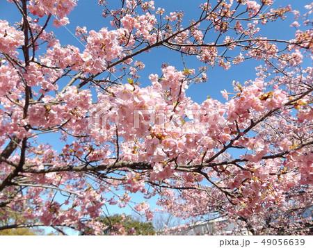 葉桜になった稲毛海岸駅前の河津桜の花 49056639