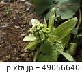 春の訪れフキノトウ 49056640