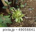 春の訪れフキノトウ 49056641
