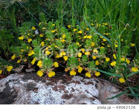 Ajuga chamaepitys plant rocks near Acre Haifa Israel. Mediterranean wild nature. Yellow bugle, or 49062526