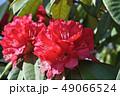 シャクナゲ 石楠花 石南花の写真 49066524