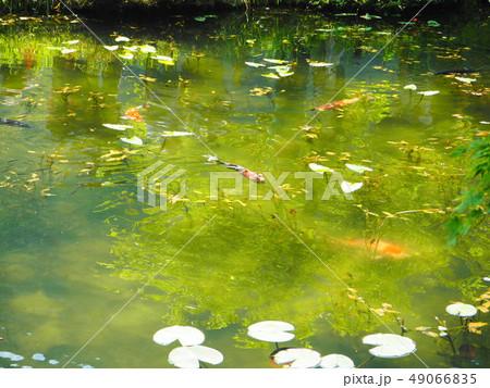 モネの池 49066835