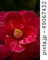花 赤 赤色の写真 49067432