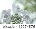 花 アジサイ アップの写真 49074576