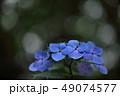 花 アジサイ アップの写真 49074577