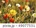 花 ポピー アップの写真 49077531