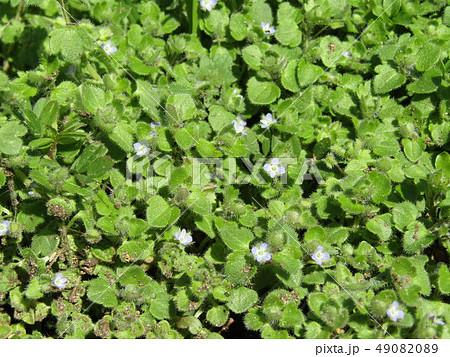 散歩で出会った小さい小さい野の花フラサバソウ 49082089