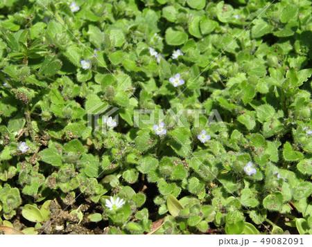 散歩で出会った小さい小さい野の花フラサバソウ 49082091