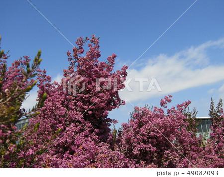 可愛い小さい桃色の花エリカ 49082093