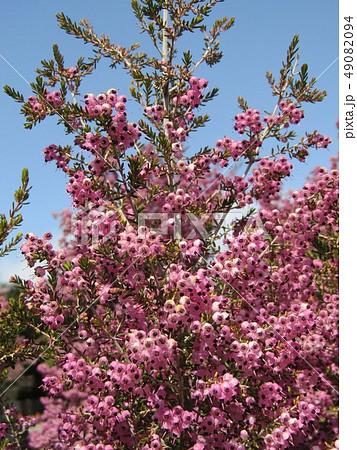 可愛い小さい桃色の花エリカ 49082094