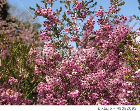 可愛い小さい桃色の花エリカ 49082095