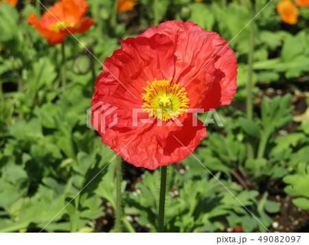 ポピーの赤い花 49082097