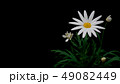 マーガレット 49082449