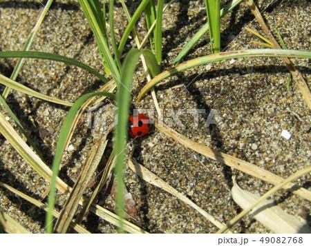 赤い色のきれいなナナホシテントウ 49082768
