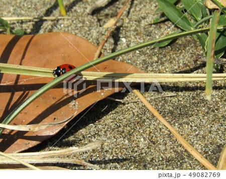 赤い色のきれいなナナホシテントウ 49082769