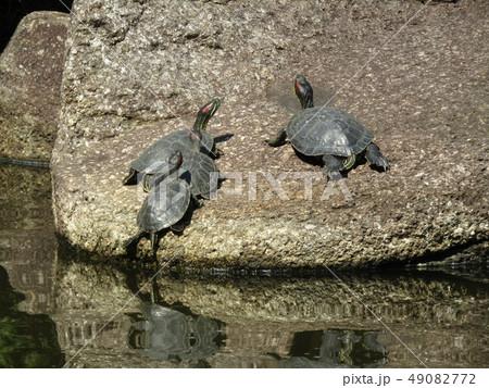 稲毛海浜公園の池に亀の親子 49082772
