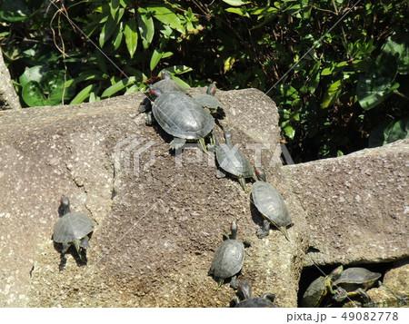 稲毛海浜公園の池に亀の親子 49082778