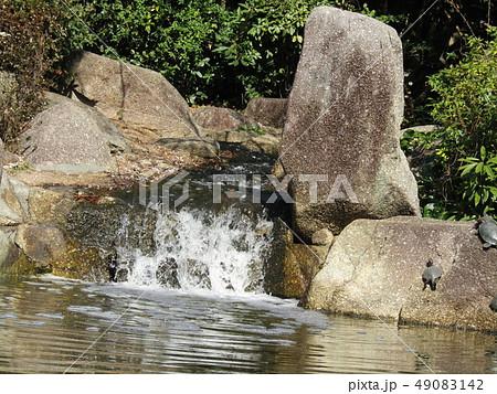 稲毛海浜公園の池に沢山の亀 49083142