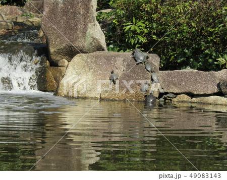 稲毛海浜公園の池に沢山の亀 49083143