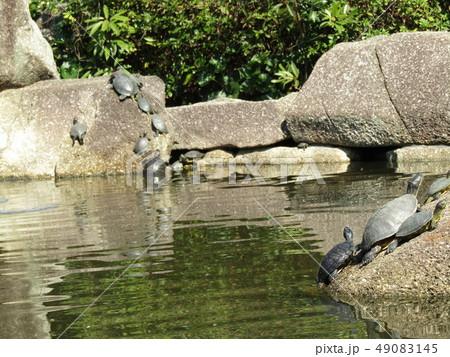 稲毛海浜公園の池に沢山の亀 49083145