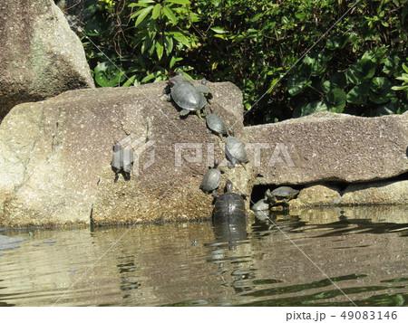 稲毛海浜公園の池に沢山の亀 49083146
