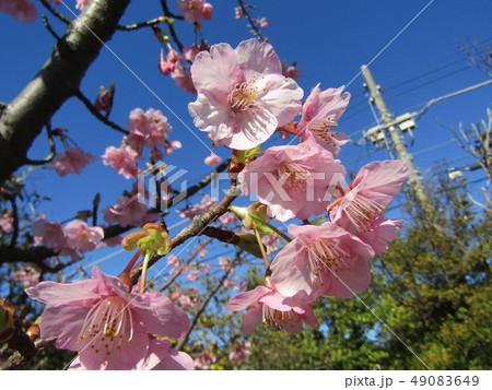 満開になった稲毛海岸駅前のカワヅザクラ 49083649