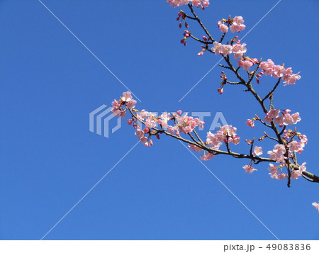 満開になった稲毛海岸駅前のカワヅザクラ 49083836