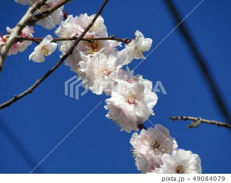 梅の実がたくさんなる満開になった白いウメの花 49084079