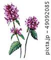水彩画 植物 植物画のイラスト 49092085