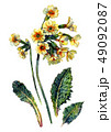 水彩画 植物 植物画のイラスト 49092087