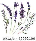 ラベンダー 水彩画 植物画のイラスト 49092100