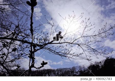 逆光で眩しい初夏の木蓮の花とつぼみ 49092783
