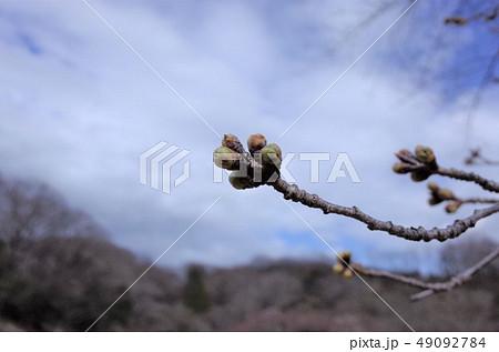 初夏の木蓮の花とつぼみ、樹木、公園に美しく咲く、青空 49092784