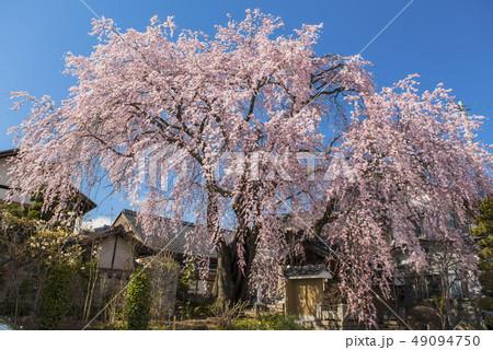 【長野県】黄梅院の枝垂れ桜 49094750