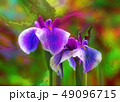 花菖蒲 49096715