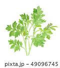 植物 よもぎ 野草のイラスト 49096745
