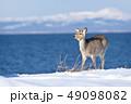 冬 海 積雪の写真 49098082