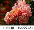初夏の陽光を浴びるオレンジ色の薔薇 49099121