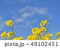 菜の花 快晴 青空の写真 49102451
