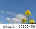 菜の花 快晴 青空の写真 49102459