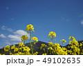 菜の花 青空 快晴の写真 49102635