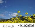 菜の花 青空 快晴の写真 49102636