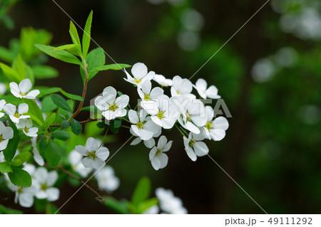 白い雪柳の花 49111292