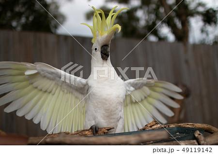 オーストラリアの野鳥 キバタン 白い大きいオウム トサカと翼を広げる  49119142