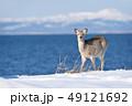 冬の海岸に現れたエゾシカ(北海道) 49121692