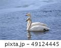 大白鳥 白鳥 鳥の写真 49124445