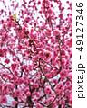 桃 春 花の写真 49127346