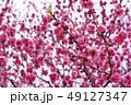 桃 春 花の写真 49127347