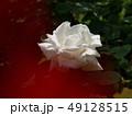 ローズガーデンの白いバラ 49128515