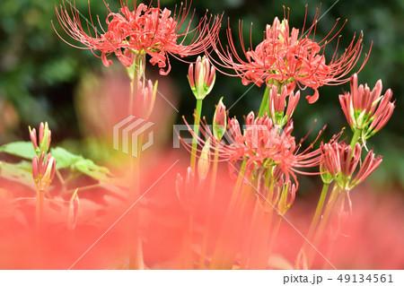 咲き乱れる彼岸花 49134561